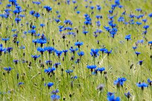 plavica - modri glavinec